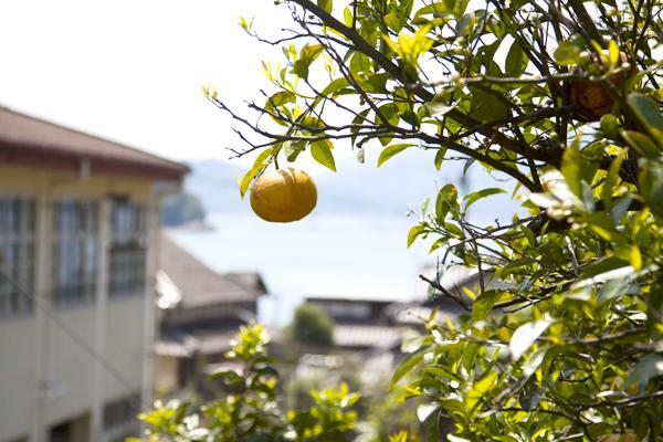 情島の夏みかん